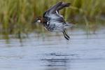 Red-necked phalarope (Phalaropus lobatus) taking off from tundra pond near Barrow Alaska