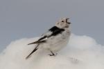 Snow bunting (Plectrophenax nivalis nivalis) singing on a snowbank near Barrow Alaska