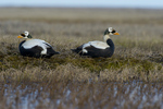 Spectacled eider drakes (Somateria fischeri) resting by a tundra pond near Barrow Alaska