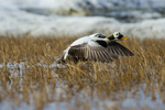 drake spectacled eider (Somateria fischeri) taking flight on tundra pond near Barrow Alaska