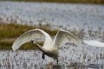 Tundra swan (Cygnus columbianus columbianus) taking off from a tundra pond on the Arctic coast near Barrow Alaska