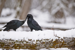 "Common ravens (Corvus corax) ""kissing"" as part of courtship rituals"