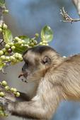 Black-striped (aka bearded) capuchin (Sapajus libidinosus) feeding on figs (Ficus sp.) in the Pantanal wetland, Brazil