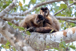 black-striped capuchin monkeys (Sapajus libidinosus), engaged in social grooming (allogrooming) in the Pantanal, Brazil