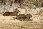 Capybara family in the Pantanal in southern Brazil