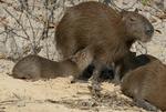 Capybara family in the Pantanal in southern Brazil; young capybaras nursing