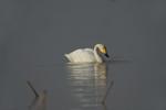 Whooper swan (Cygnus cygnus) at Wuxing Farm, Wuxing Nanchang, Poyang Lake Basin, east-central China