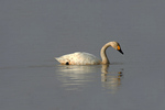 Whooper swan at Wuxing Farm, Wuxing Nanchang, Poyang Lake Basin, east-central China