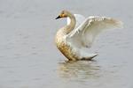 Whooper swan (Cygnus cygnus) wing stretch at Wuxing Farm, Wuxing Nanchang, Poyang Lake Basin, east-central China