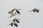 Flock of Siberian cranes flying over Wuxing Farm, Nonchang in the Poyang Lake Basin in east-central China