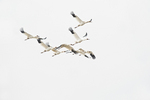 Flock of Siberian cranes flying over Wuxing Farm, Nanchang in the Poyang Lake Basin in east-central China