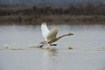 Whooper swan (Cygnus cygnus) taking off from lake at Wuxing Farm, Wuxing Nanchang, Poyang Lake Basin, east-central China