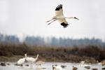 Siberian crane (Leucogeranus leucogeranus) flying over lake at Wuxing Farm, Nanchang in the Poyang Lake Basin in east-central China
