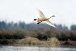 Whooper swan (Cygnus cygnus) flying over wetland at Wuxing Farm, Wuxing Nanchang, Poyang Lake Basin, east-central China