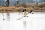 Siberian crane (Leucogeranus leucogeranus) taking off from shallow pond at Wuxing Farm, Nanchang in the Poyang Lake Basin in east-central China