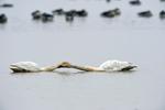 Whooper swan (Cygnus cygnus) courtship behavior at Wuxing Farm, Wuxing Nanchang, Poyang Lake Basin, east-central China.