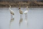Siberian crane (Leucogeranus leucogeranus) family at Wuxing Farm, Nonchang in the Poyang Lake Basin in east-central China