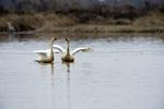 Whooper swans (Cygnus cygnus) breeding behavior at Wuxing Farm, Wuxing Nanchang, Poyang Lake Basin, east-central China