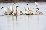 Whooper swan (Cygnus cygnus) greeting frenzy at Wuxing Farm, Wuxing Nanchang, Poyang Lake Basin, east-central China