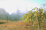 Fog over the valley slows the grape ripening process for the cool-climate vineyard region.