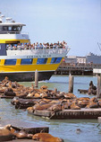 The Blue and Gold Ferry passes by Pier 39's sea lion colony in Fisherman's Wharf.