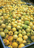 Organic Golden Delicious and Gravenstein apples on sale at Apple Farm at Philo, in Anderson Valley wine country.