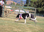 A border collie under the hot sun at the sheep dog trials, during the Mendocino County Fair, in Boonville, the heart of Anderson Valley wine country.