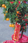 Flowering orange trees, on sale for Chinese New Year, in Chinatown, represent the