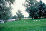 Geese on the banks of the Loire River during spring, in French chateaux country.