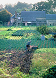 Farmer collecting potatoes in his vegetable garden outside a farm, near  Chateau d'Azay-le-Rideau, in spring.