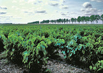 Vineyards, northeast of Chambord, during spring, in the Loire Valley.