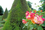 "Pink and yellow roses (""Joseph, Coat"") of the formally landscaped Bagatelle Garden in the Bois de Boulogne."