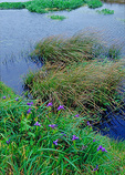In spring, Miner's lettuce, grasses and wild Douglas iris grow near the driftwood bridge by Abbotts Lagoon, at Point Reyes National Seashore.