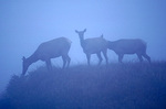 Tule elk in the mist - part of a reserve that numbers in a few hundreds - at Point Reyes National Seashore.