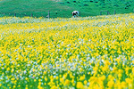 Wild mustard brings spring color to the Point Reyes pastureland.