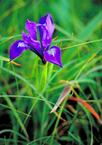 The Douglas iris (Iris douglasiana) is part of the wildflower display in April and May by Abbotts Lagoon, in Point Reyes National Seashore.