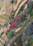 Succulent sea fig and spring growth on the headlands of Point Lobos, in the scenic Monterey Peninsula.