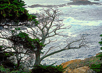 The contorted trunks and branches of the Monterey Cypress reveal how the tree adapted to salt spray and wind at Point Lobos State Reserve, in the scenic Monterey Peninsula.