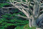 The contorted trunk and branches of a very old Monterey Cypress reveal how the tree adapted to the salt spray and wind at Point Lobos State Reserve, in the scenic Monterey Peninsula.