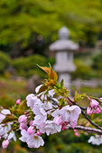 Closeup of pink and white cherry blossoms in spring bloom, and a stone lantern in the backdrop, in San Francisco's Japanese Tea Garden.