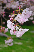 Closeup of pink and white cherry blossoms outside San Francisco's Japanese Tea Garden in Golden Gate Park.