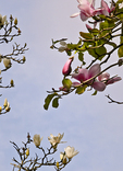 Magnolias - part of a rare and historic collection (many from China) - burst into flower in Golden Gate Park's San Francisco Botanical Garden.