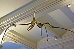 A skeleton of Pteranodon - a large-winged, flying reptile -  which fluorished during the great age of dinosaurs; American Museum of Natural History.