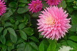 Pink dahlia - a summer bloom growing in the Dahlia Dell in San Francisco's Golden Gate Park.