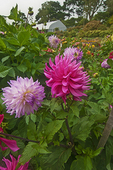 Summer dahlias and greenhouse in the Dahlia Dell; San Francisco's Golden Gate Park.