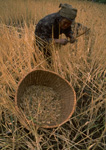 A Nepalese woman harvests wheat with a bamboo rod in a field near Melamche