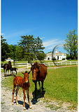 Mare and foal at the UVM Morgan Horse Farm, Middlebury, Vermont