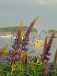 Lupine bloom at Stonington harbor, Maine