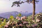 Mountain Laurel blooming with vista, Shenandoah National Park, Virginia