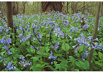 Blue Bells, Bull Run Regional Park, Centreville, Virginia